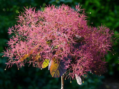 Cotinus grace flower