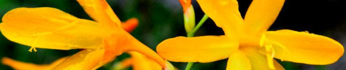 Crocosmia George Davison header
