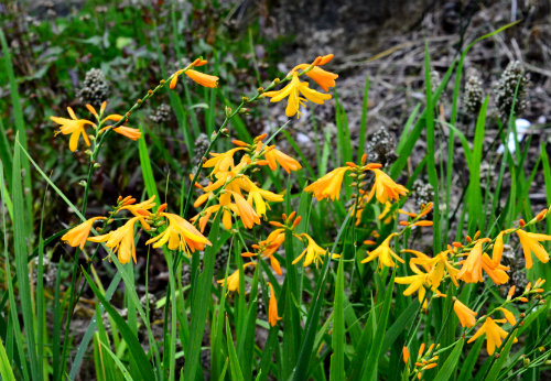 Crocosmia x crocosmiiflora 'George Davison':photo by Robert Pavlis