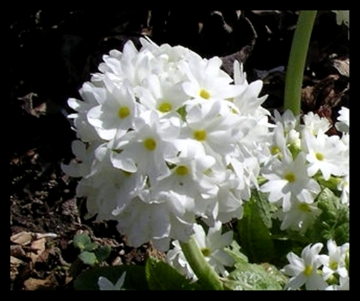 Primula denticulata white closeup