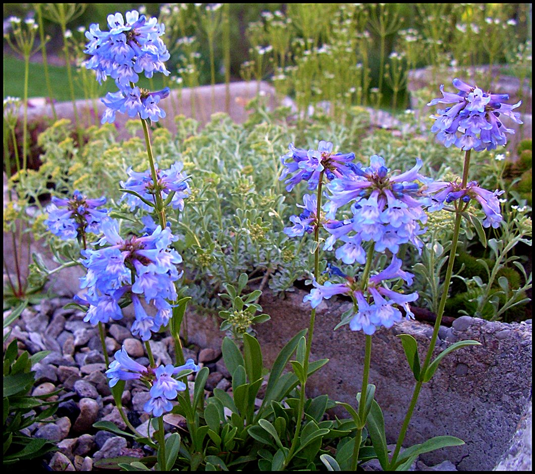 penstemon procerus main